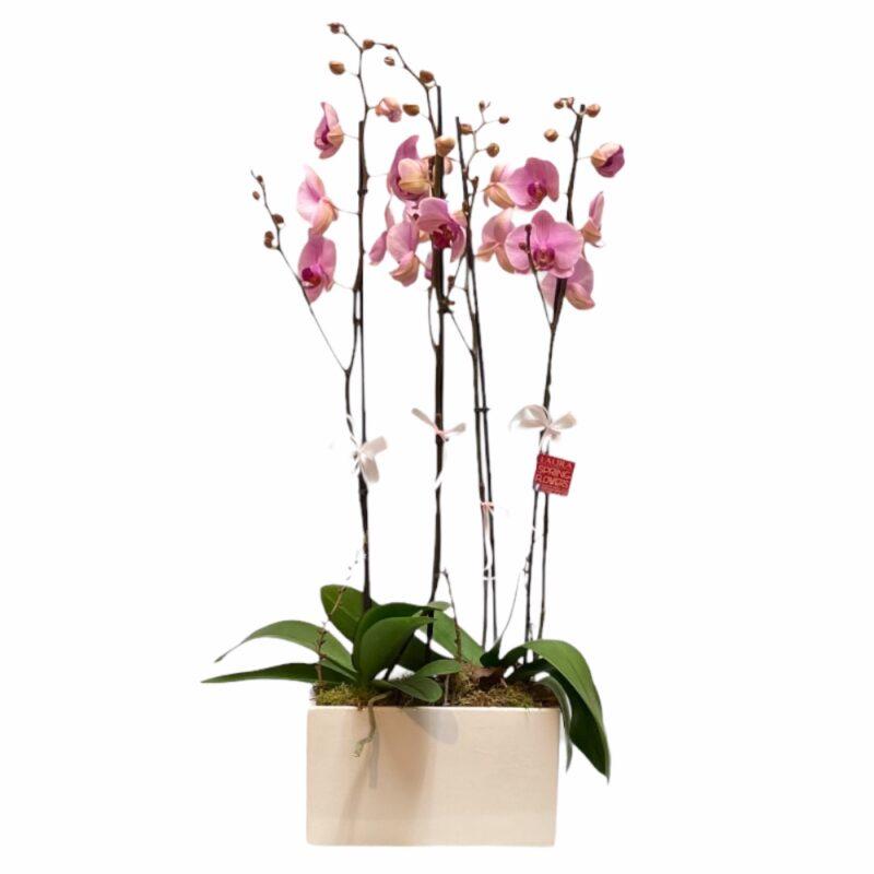 orxidea roz